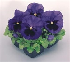 Pansy  Inspire® Purple & Orange
