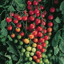 Cherry Tomato.  10 plants  Deal