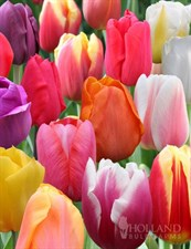 Mixed  Tulip BULBS   20 Bulbs deal;