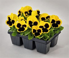 PANSY  Inspire® Plus Yellow Blotch Improved