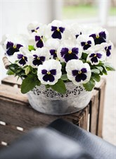 pansy Inspire® DeluXXe™ White Blotch pansy 40 seeds in packet