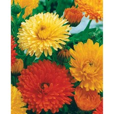 Calendula  ORANGE & YELLOW MIXED