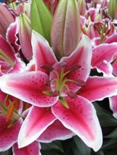 Lily East hybrids Curie  5 BULBS DEAL