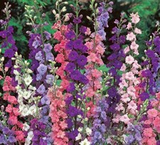 Larkspur 'Tall Hyacinth Flowered Mixed'