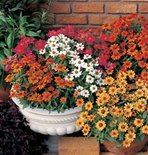 Zinnia  Profusion Single Mix (F1)