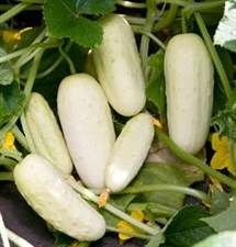 Organic Cucumber Seed Salt and Pepper