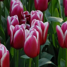 LIVERPOOL TULIP BULB  6 BULBS DEAL