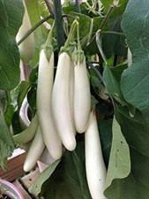 Eggplant white long Hybrid F1 50 Seeds