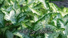 White Cap Caladium