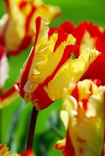 Flaming Parrot Tulip  5 bulbs deal