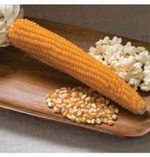 CORN ROBUST  POPCORN 20 seeds