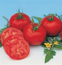 Tomato Seed Moskvich Organic