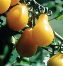 Tomato Seed Yellow Pear