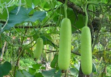 bottle Gourd  (Loki)  Desi Selected  Seeds
