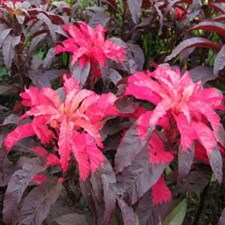 Amaranthus Early Splendor