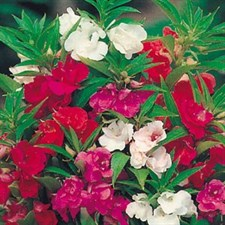 Balsam DOUBLE ROSE FLOWER MIX