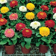 Zinnia Dreamland F1 Mix