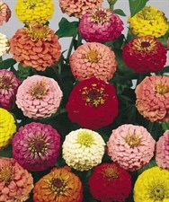Zinnia Lilliput  formula mix