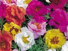 PORTULACA HALF  TIME MIX