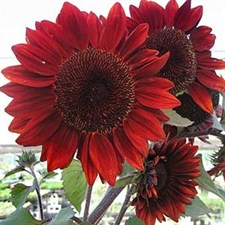 SUNFLOWER FLORENZA RED 20 plus seeds
