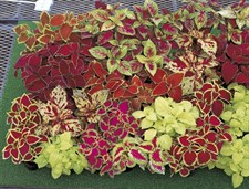Superfine Rainbow Coleus F1