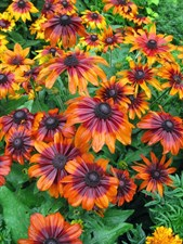 Rudbeckia hirta 'Autumn Forest'