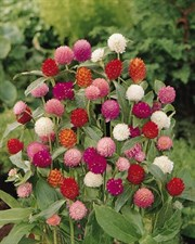 Gomphrena Mixed 40 seed