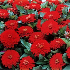 Zinnia Sky Dreamland Red F1