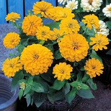 Zinnia Dreamland Yellow F1
