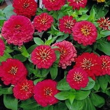 Zinnia Dreamland ROSE  F1