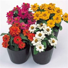 Zinnia Profusion Double Mix