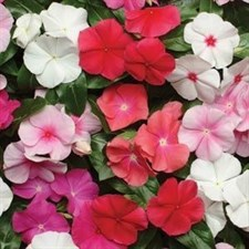Pacifica XP Mix Vinca MIX 50 seeds