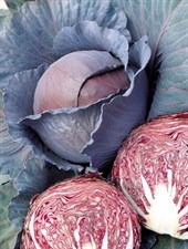Cabbage Red Ruby Perfection F1