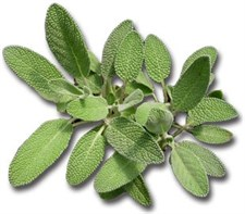 sage Salvia officinalis