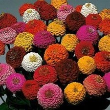 ZINNIA  Lilliput formula mixed 500 seed