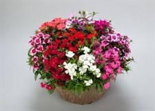 Dianthus f1 Diamond Mix