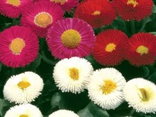 Bellis  Galaxy F1 MIX