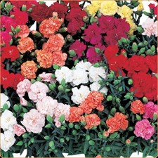 Carnation Lillipot F1 MIXED