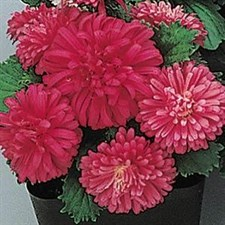 Aster f1 Pot & Patio Scarlet