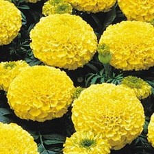 Marigold F1 Marvel Yellow African Double Dwarf