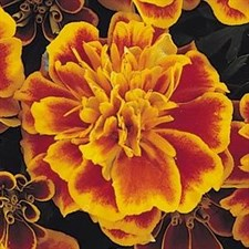 French Marigold Bonanza F1 Flame