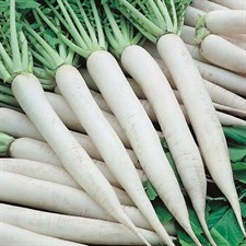 Radish White  (Mino Early)