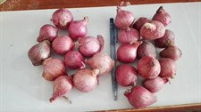 Onion Reds  Bulbs