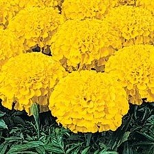 Marigold F1 Marvel Gold African Double Dwarf