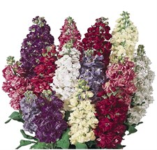 Stock COLUMN  Mix Flower Seeds