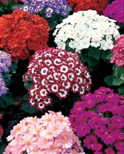 Cineraria 'Eaturt  Beauty Mixed'