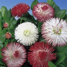 BELLIS  DOUBLE FLOWERED MIXED