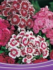 Dianthus Persian carpet Mixed