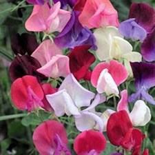 Sweet Pea Mixed lathyrus mammoth