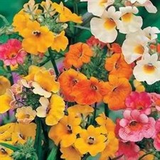 Nemesia Carnival Mix (OP SEEDS )